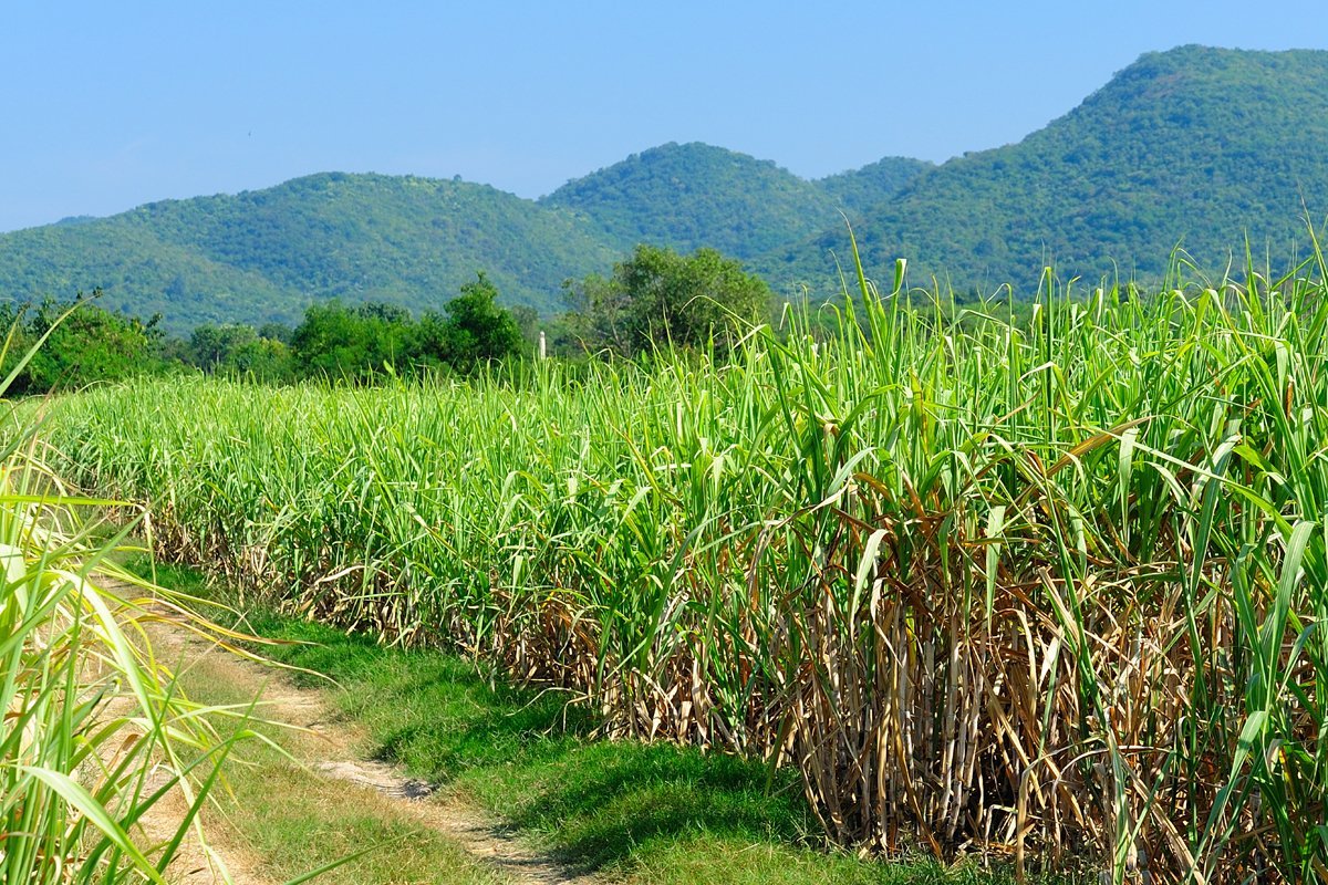 Sugarcane fields